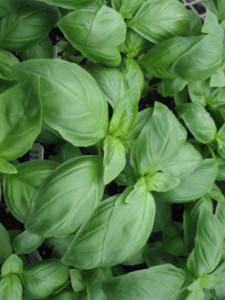 basil-aroma